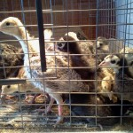 Heritage breed turkey poults raised on Hiland feed!
